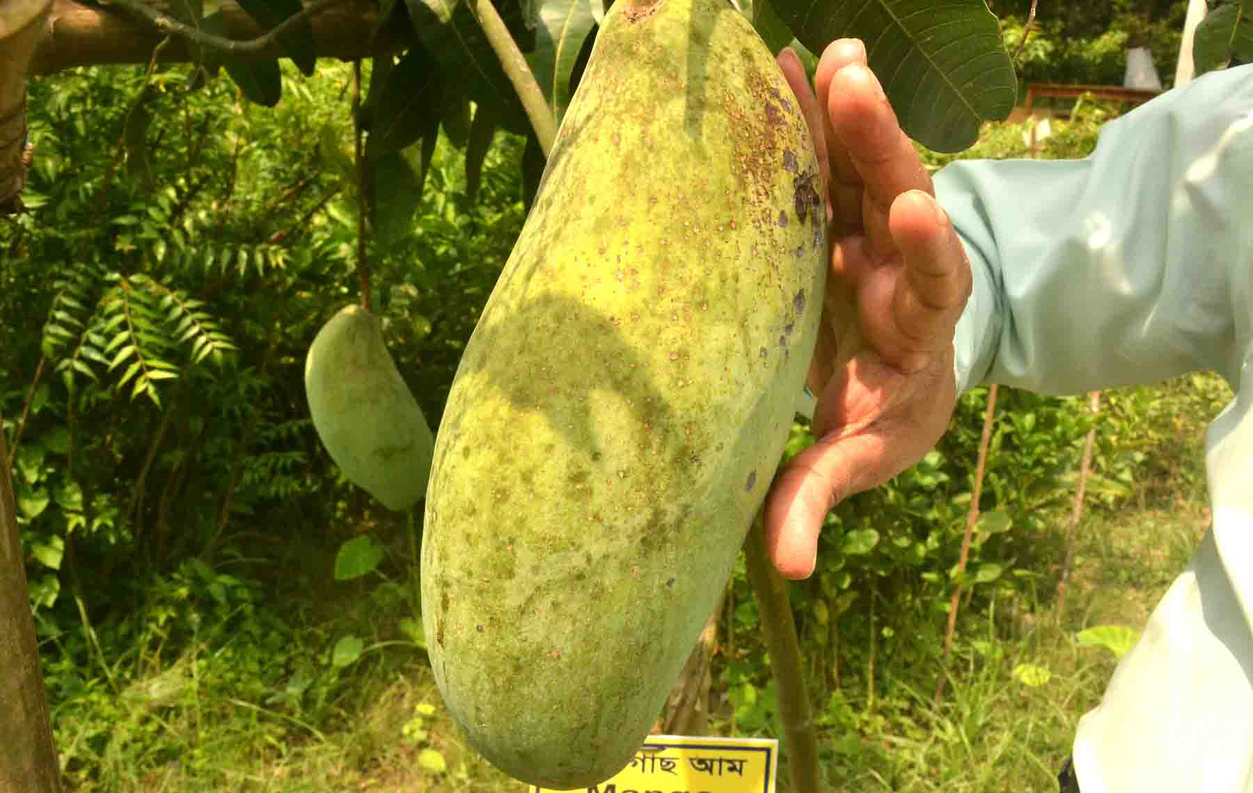 Magura Brunai King Mango Pic 2q