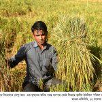 Magura Krishok er Dhan Kete nosto pic (3)
